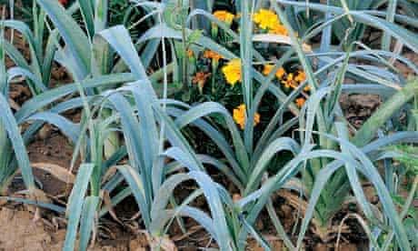 Leeks planted with marigolds