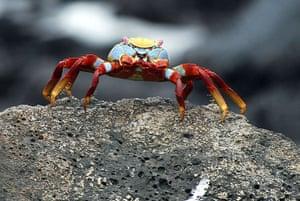 Feb 12 Been there comp: Ecuadorean crab