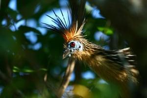 Feb 12 Been there comp: hoatzin bird, Venezuela