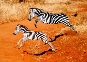 Feb 12 Been there comp: Zebras, Tanzania