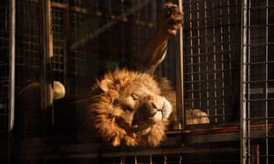 Caged circus lion