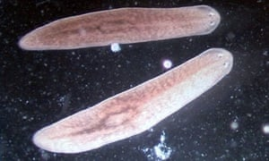 Planarian worms