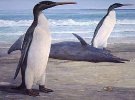 What the Kairuku giant prehistoric penguin would have looked like