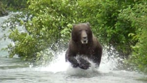 Grizzly bear charge: Grizzly bear charges tourists in Katmai National park, Alaska