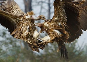 Week in wildlife: Vultures battle for a cow carcass
