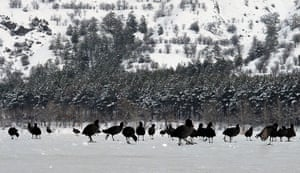 Week in wildlife: Coots search for food on the frozen Lake of Eymir, Turkey