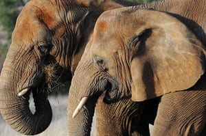 Week in wildlife: Australia's only two African elephants