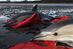 Week in wildlife:  Two stranded common dolphins