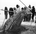 Rescuers look on as a gray whale surfaces in a breathing hole off Point Barrow, Alaska, in 1988.