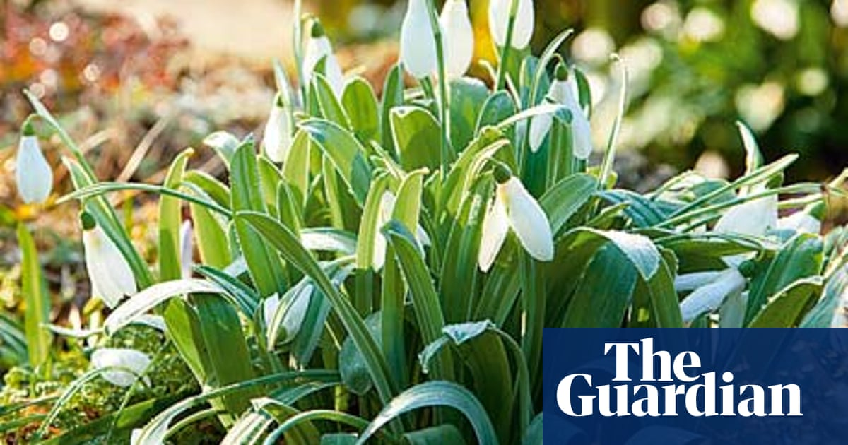 Gardens Snowdrops Life And Style The Guardian