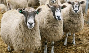 Pregnant ewes on a farm infected with Schmallenberg virus