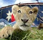 Circuses will be banned from using wild animals, such as this lion cub, for performances