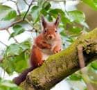 Red squirrel for Northerner blog
