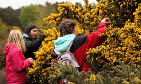 Picking gorse flowers