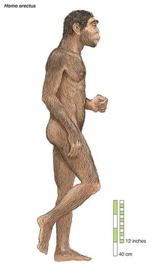 Human evolution: Homo erectus