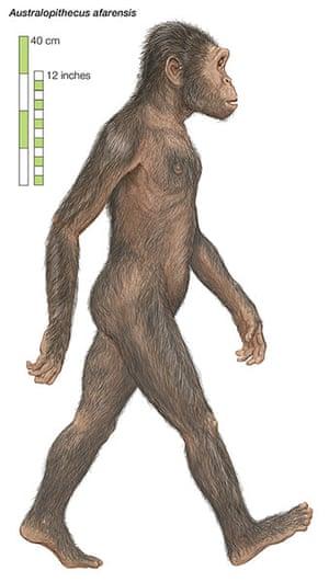 Human evolution: Australopithecus afarensis