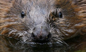 Beavers in Tayside, Scotland