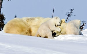 Spring: Polar bear mother and cub, Manitoba, Canada