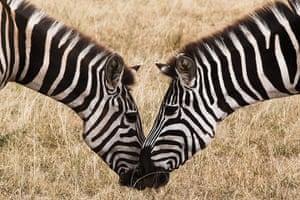 Maasai Mara Reserve: Zebras graze