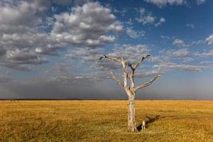 Maasai Mara Reserve: A cheeta sits next to a tree