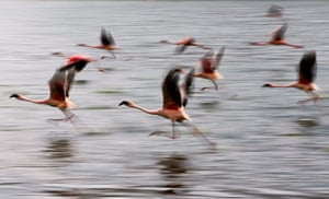 Maasai Mara Reserve: Flamingos take off from Lake Oloiden near Naivasha