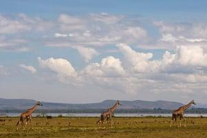 Maasai Mara Reserve: Giraffes