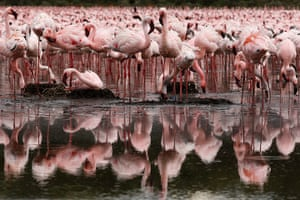 Maasai Mara Reserve: Lesser and greater flamingos stand in Lake Oloiden