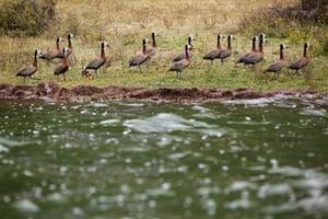 Maasai Mara Reserve: Egyptian gooses walk on the shore of Lake Oloiden