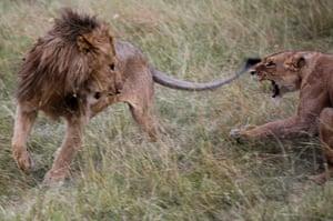 Maasai Mara Reserve: A lion pair