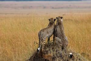 Maasai Mara Reserve: Cheetas