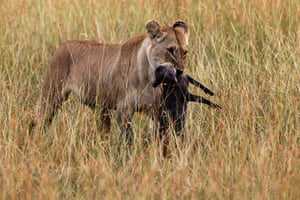 Maasai Mara Reserve: A lioness carries a baby warthog