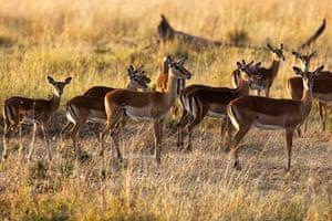 Maasai Mara Reserve: Female impalas
