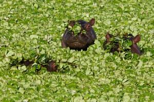 Maasai Mara Reserve: Hippopotamuses