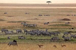 Maasai Mara Reserve: Zebras and Thomson's gazelles