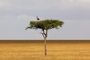 Maasai Mara Reserve: A saddle-billed stork