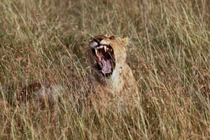 Maasai Mara Reserve: A lioness yawns