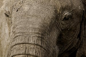 Maasai Mara Reserve: A close-up photo of an African elephant