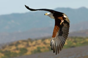 Maasai Mara Reserve: A fish eagle flies with a fish he caught in the Lake Baringo National Park