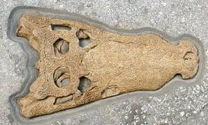 Fossilised prehistoric crocodile skull