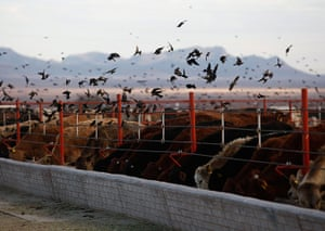 24 hours: Chihuahua, Mexico: Cattle eat from a feeding trough