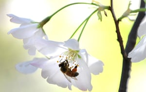 24 hours: Los Angeles, USA: A bee feeds on the pollen of a cherry blossom tree