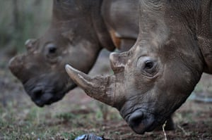 Week in wildlife: Two white rhinoceros walk in Limpopo