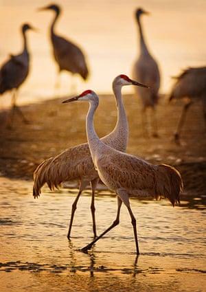 Week in wildlife: a flock of sandhill cranes