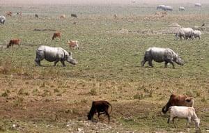Week in wildlife: Rhinoceros are seen during the rhino census in Pobitora wildlife sanctuary