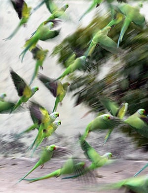 Week in wildlife: Parrots take off at a court yard of a house
