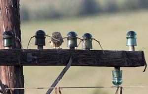 Week in wildlife: Little owl imitates ceramic insulator on pylon, Dobrogea, Romania