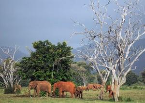 Week in wildlife: Elephants forage in the Tsavo-east National park
