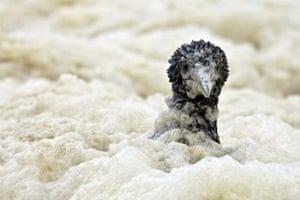 Week in wildlife: juvenile Cape gannet
