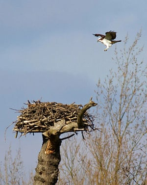 Week in wildlife: male osprey returned to his nest after migration from his West African