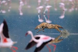 Week in wildlife: Golden jackal chasing a lesser flamingo